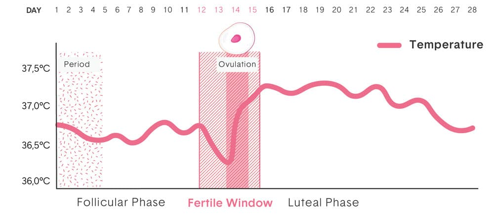 Fertility curve that shows the temperature rise around the time o ovulation