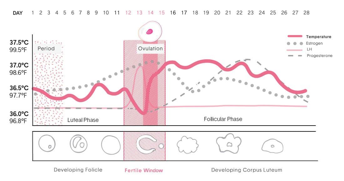 Graphic which shows ovulation and different phases of developing follicle