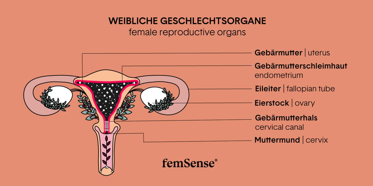Graphic of women's reproductive system